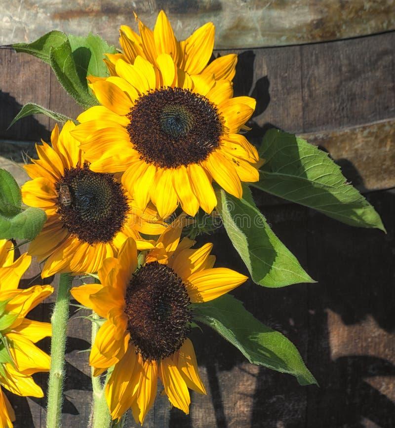 Download Flores de Sun imagen de archivo. Imagen de wooden, hoja - 100534417