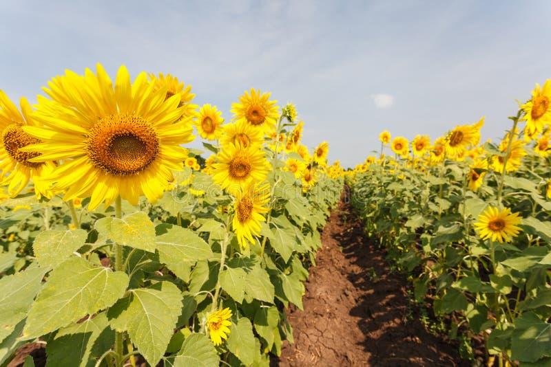 Flores de Sun fotografia de stock royalty free