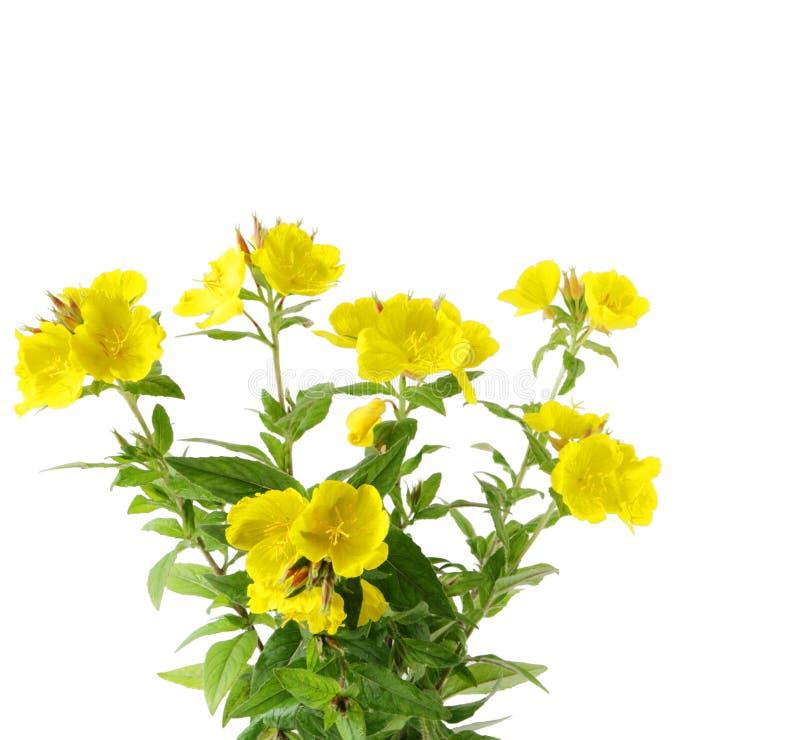 Flores de Sundrops imagens de stock