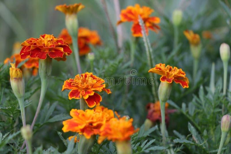 Flores de Tagete imagen de archivo libre de regalías