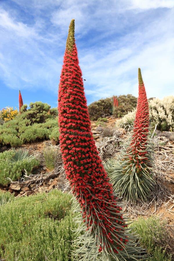 Flores de Tenerife imagens de stock royalty free
