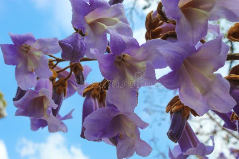 Flores de Tomentosa del Paulownia imagen de archivo