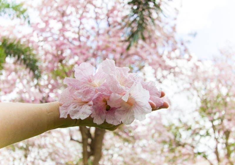 Flores de trombeta rosados caídas imagem de stock