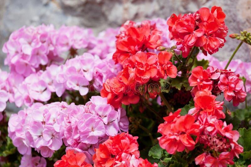 Flores de um gerânio vermelho e cor-de-rosa fotos de stock