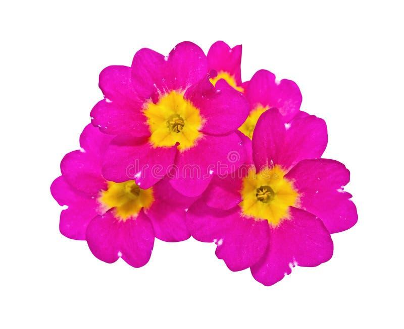 Flores de um primrose fotografia de stock royalty free