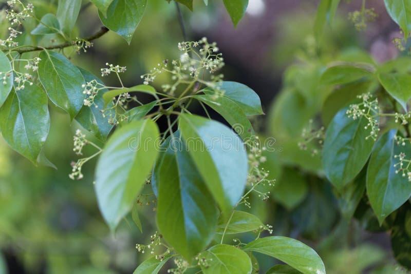 Flores de uma árvore de cânfora falsa, glanduliferum da canela fotografia de stock royalty free