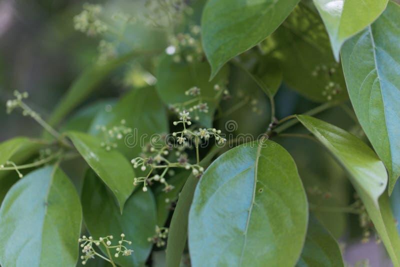Flores de uma árvore de cânfora falsa, glanduliferum da canela fotos de stock royalty free