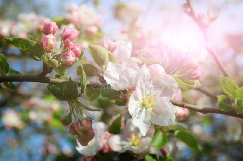 Flores de uma árvore de maçã nos raios de um sol brilhante foto de stock