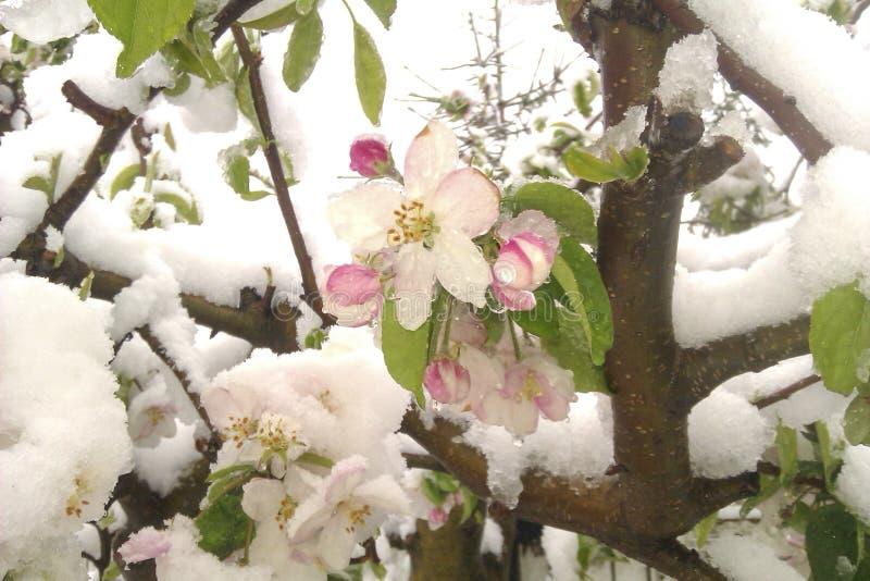 Flores de uma árvore de maçã de florescência na mola coberta com a neve imagens de stock royalty free
