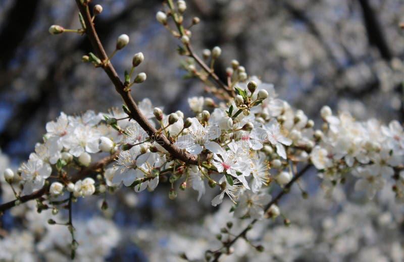 Flores de uma cereja-árvore foto de stock royalty free