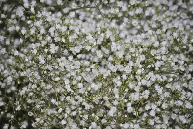 Flores de uma respiração do ` s do bebê, ou do Gypsophila fotografia de stock royalty free