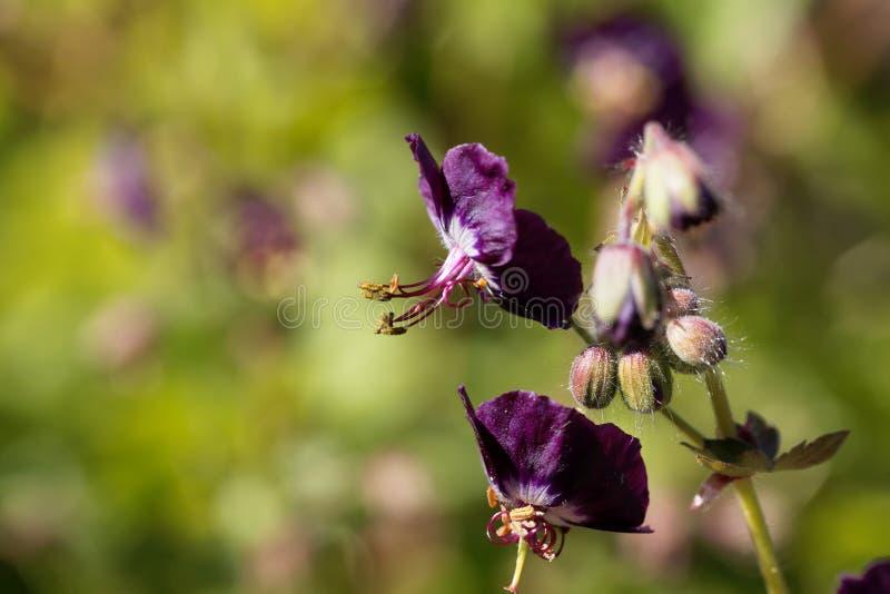 Flores de uma viúva negra, phaeum do gerânio fotos de stock royalty free