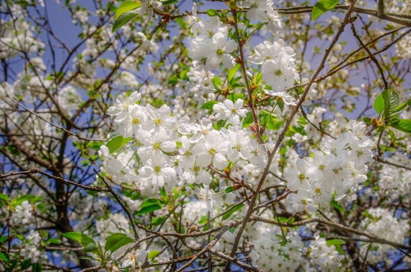 Flores de un cerezo amargo en la primavera foto de archivo