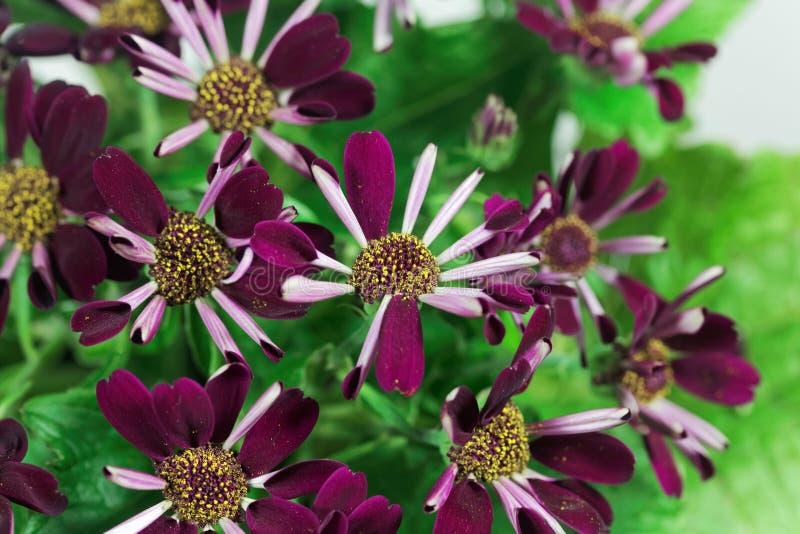Flores de un cineria, hybrida del Pericallis x fotografía de archivo libre de regalías