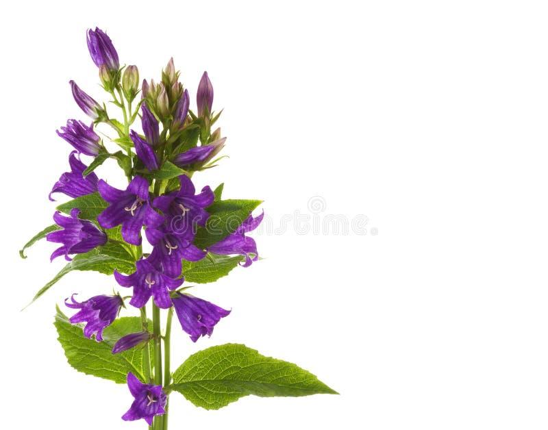 Flores de un foxglove foto de archivo