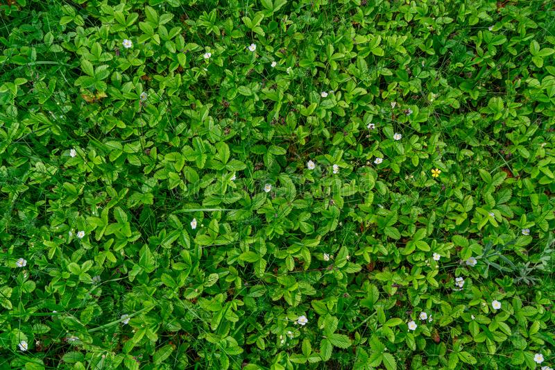 Flores de una fresa joven de la primavera en un fondo del fondo verde de las hojas fotografía de archivo libre de regalías
