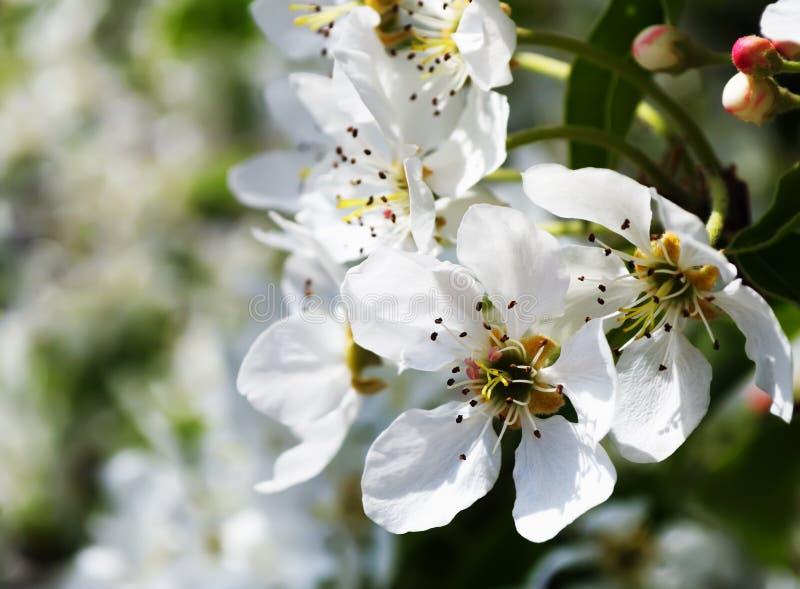 Flores de una pera imágenes de archivo libres de regalías