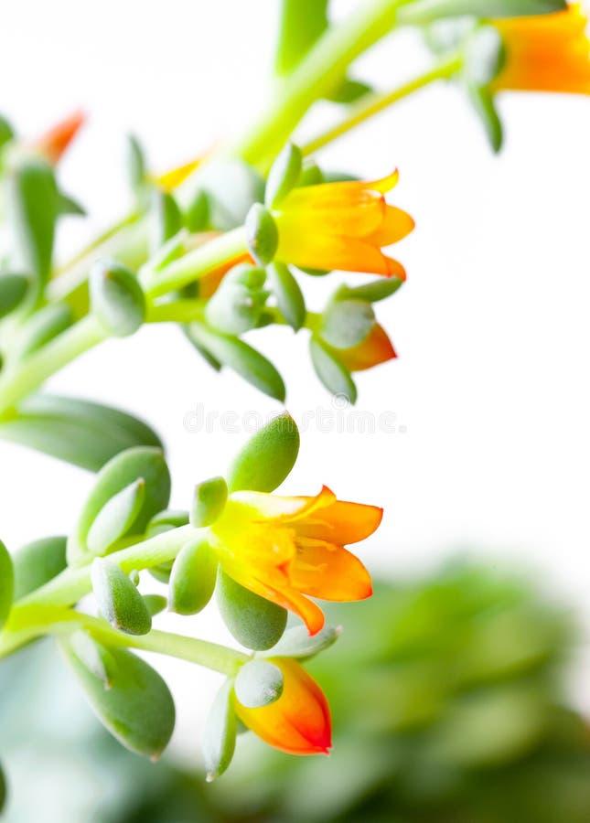 Flores de una planta suculenta Primer imagen de archivo