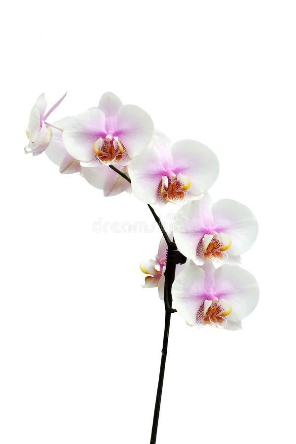 Flores de una vertical híbrida de la orquídea del Phalaenopsis imagen de archivo