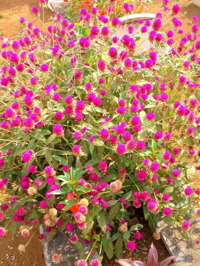Flores de Ungu fotografía de archivo