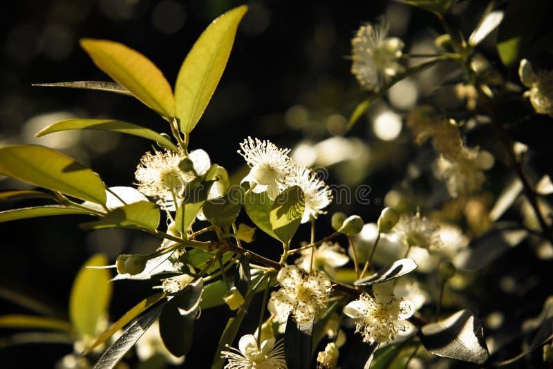 Flores de Uvaia imágenes de archivo libres de regalías
