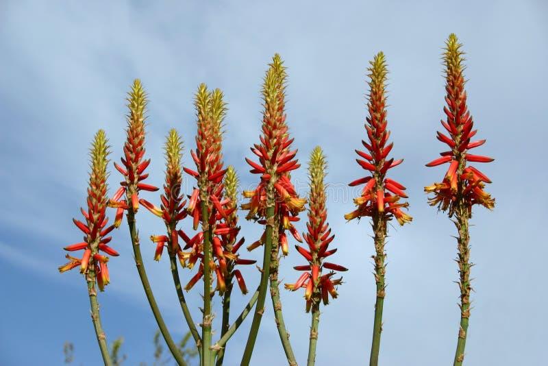 Flores de vera del áloe fotografía de archivo