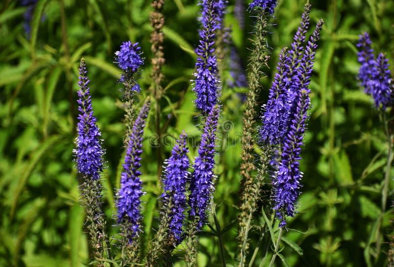 Flores de Veronica Longifolia no jardim imagens de stock royalty free
