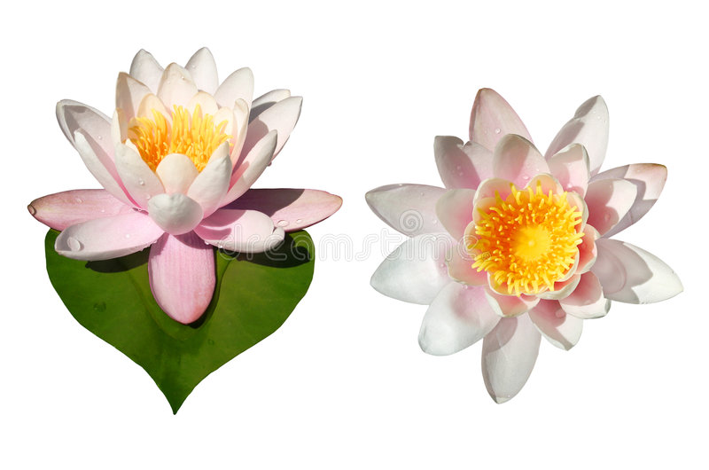 Flores de Waterlily aisladas fotografía de archivo