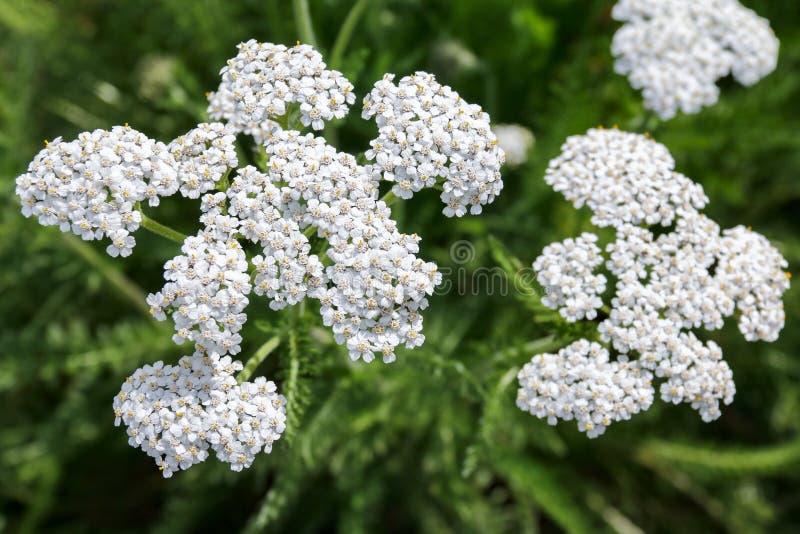 Flores de Yarrow Achillea Millefolium fotografia de stock