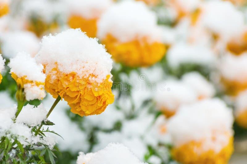 Flores debajo de la nieve imágenes de archivo libres de regalías