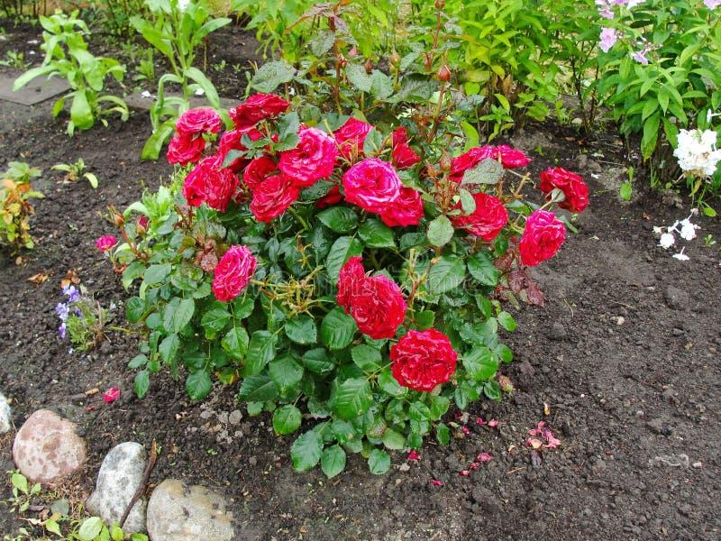 Flores decorativas bonitas no jardim do verão o grande arbusto com chá vermelho aberto de Terry das flores em botão aumentou imagem de stock