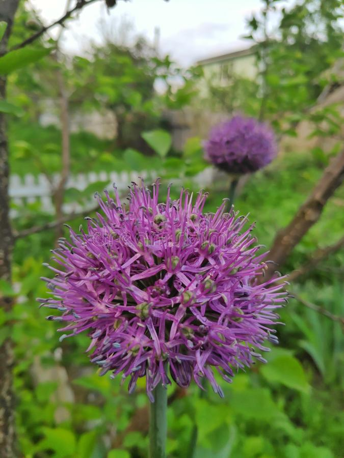 Flores decorativas de la cebolla foto de archivo libre de regalías