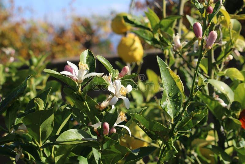 Flores del árbol anaranjado fotos de archivo libres de regalías