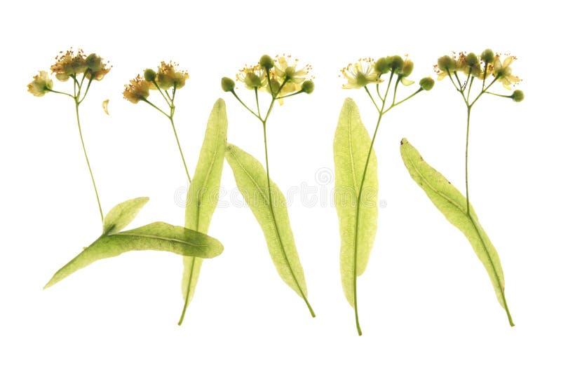 Flores del árbol de cal (Tilia) fotografía de archivo libre de regalías