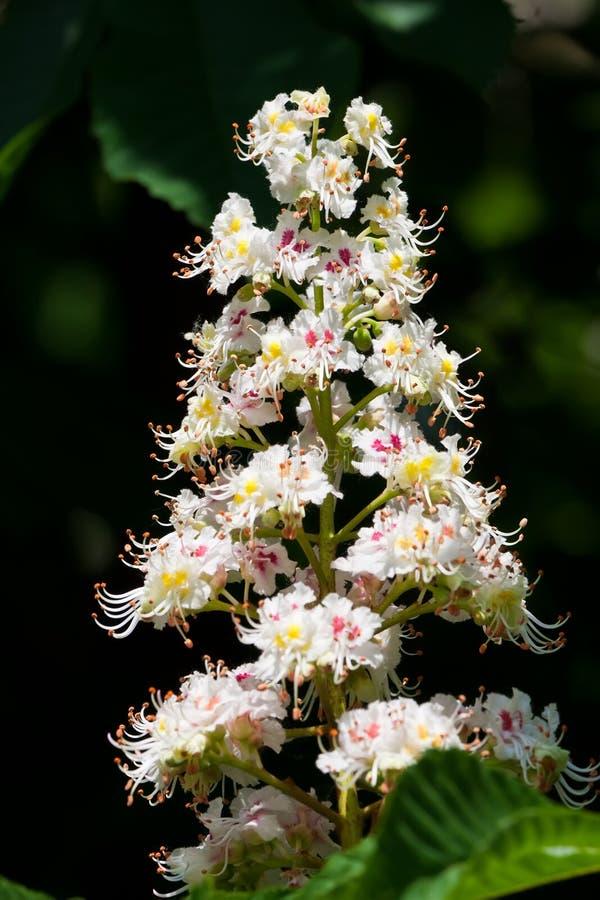 Flores del árbol de castaña imagenes de archivo