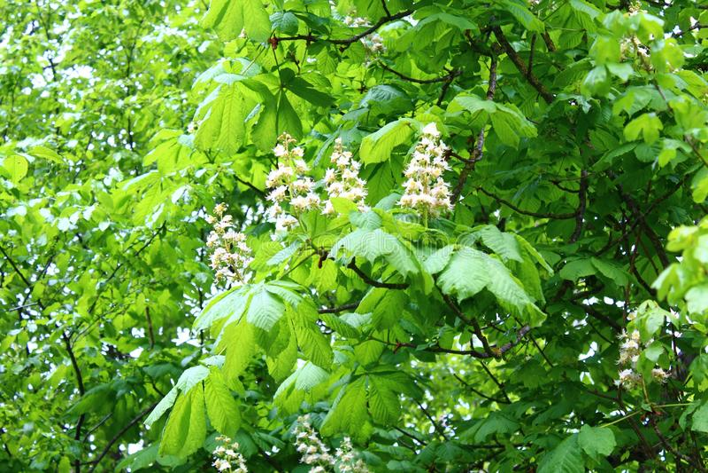 Flores del árbol de castaña de caballo en el bosque imagen de archivo
