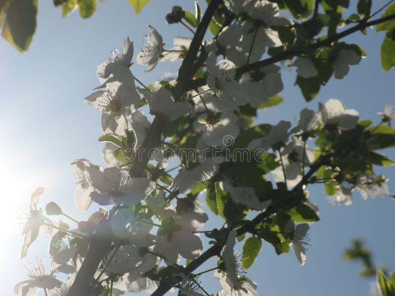 Flores del árbol de ciruelo con el fondo del cielo azul foto de archivo