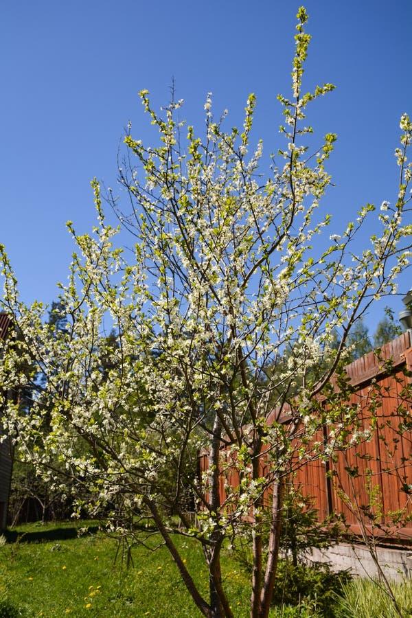 Flores del árbol de ciruelo en flores blancas grandes fotos de archivo