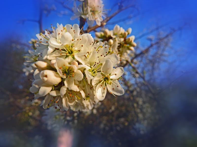 Flores del árbol de ciruelo salvaje en la primavera Estación de primavera mágica fotografía de archivo libre de regalías