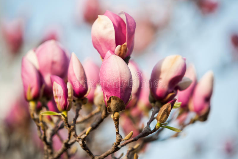 Flores del árbol de la magnolia de la primavera foto de archivo libre de regalías