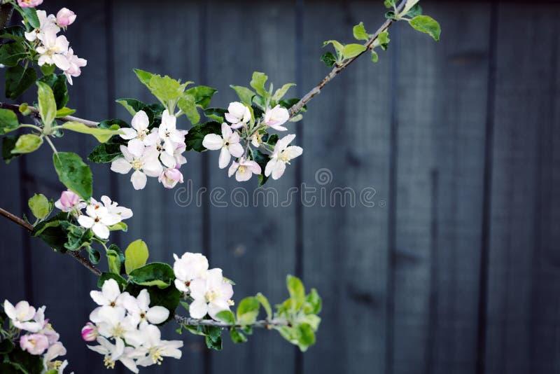 Flores del árbol de la primavera en flor imágenes de archivo libres de regalías