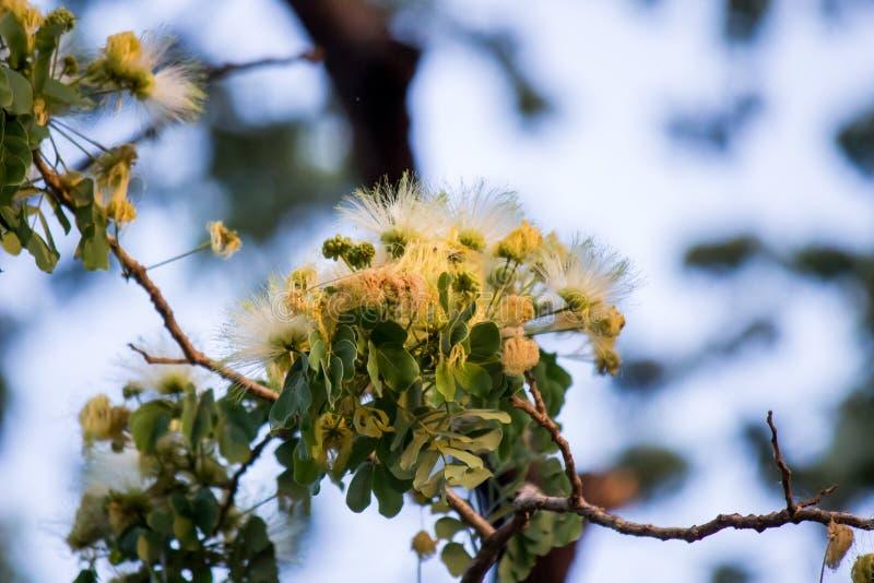 Flores del árbol de los lebbeckSiris del Albizia, lengua del ` s de la mujer, lebbeck de la mimosa fotografía de archivo