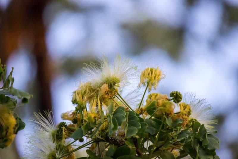 Flores del árbol de los lebbeckSiris del Albizia, lengua del ` s de la mujer, lebbeck de la mimosa fotos de archivo