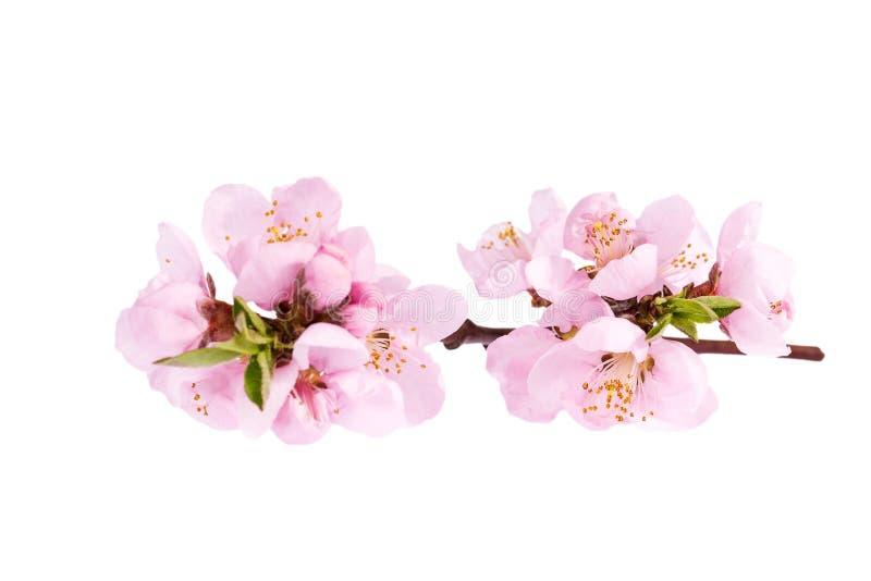 Flores del árbol de melocotón floreciente floreciente aislado en el fondo blanco imagenes de archivo