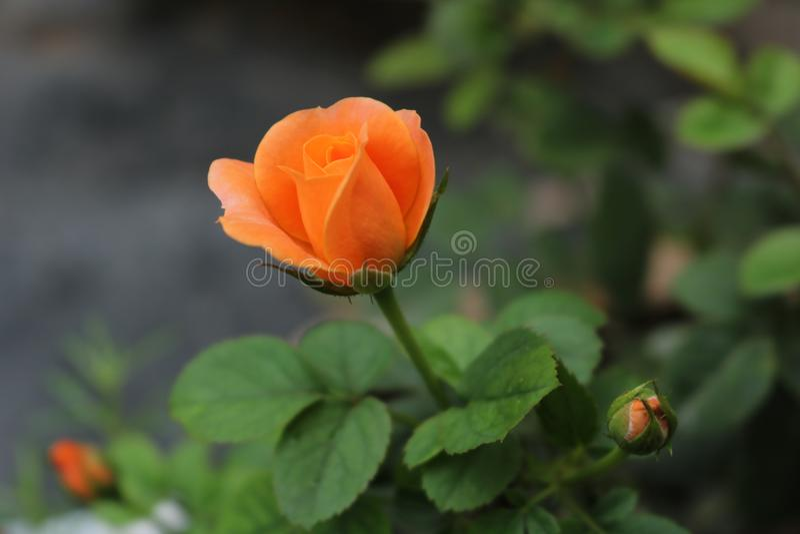 Flores 2 del último fotografía de archivo libre de regalías