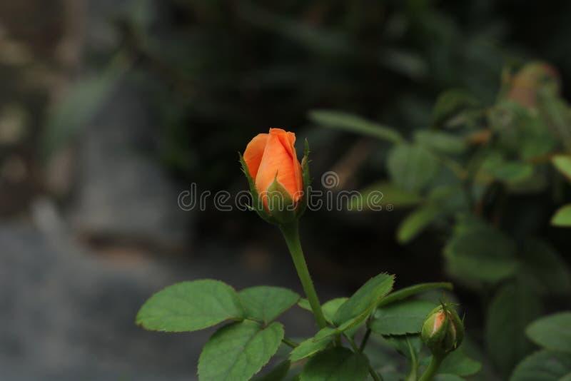 Flores 1 del último imágenes de archivo libres de regalías