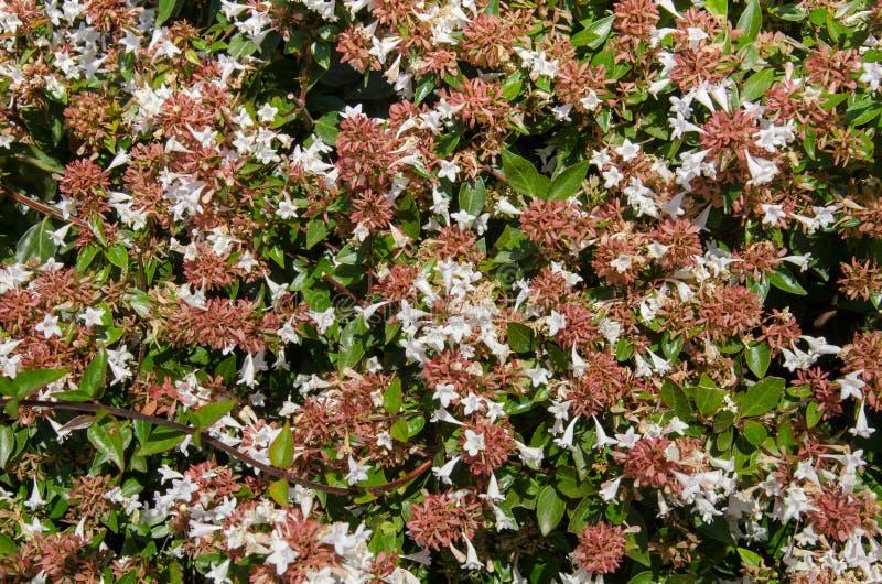 Flores del Abelia foto de archivo