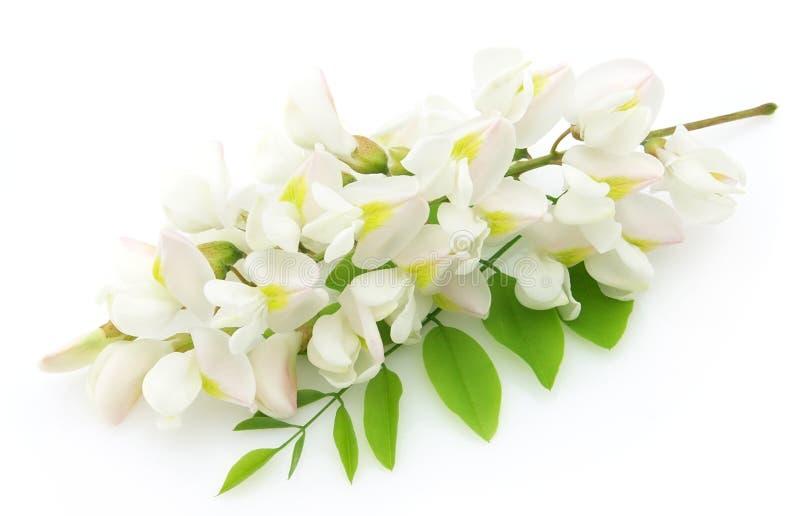 Flores del acacia fotografía de archivo