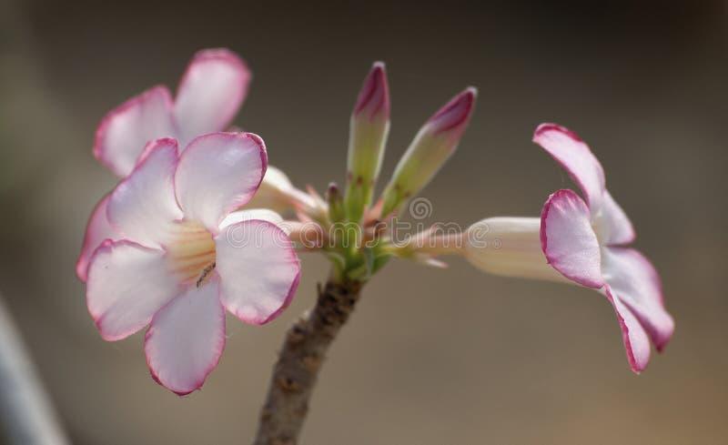 Flores del Adenium fotos de archivo