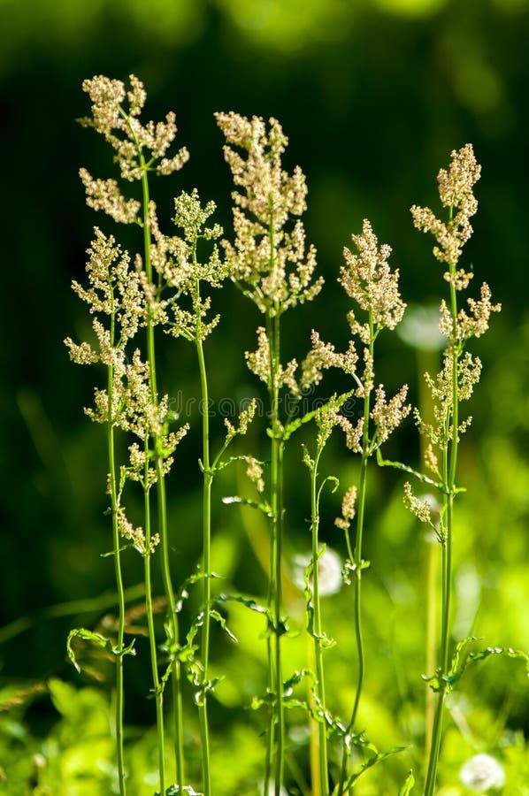 Flores del alazán una planta europea de la familia del muelle, con el arr fotos de archivo libres de regalías